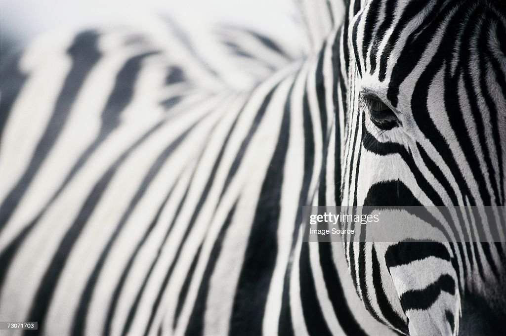 Zebra : Stock Photo