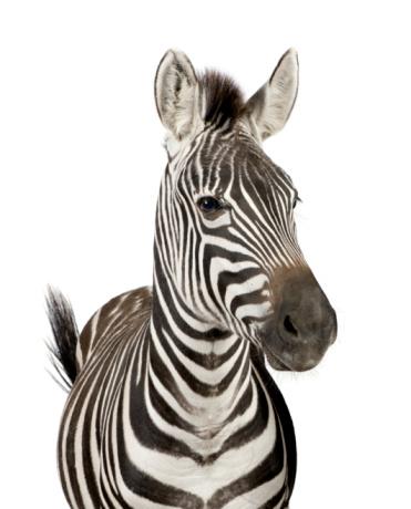 Zebra 93216012