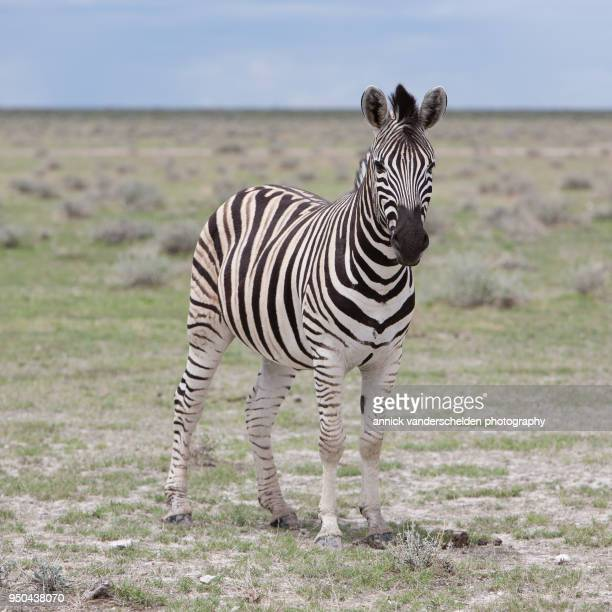 zebra. - zebra stock pictures, royalty-free photos & images