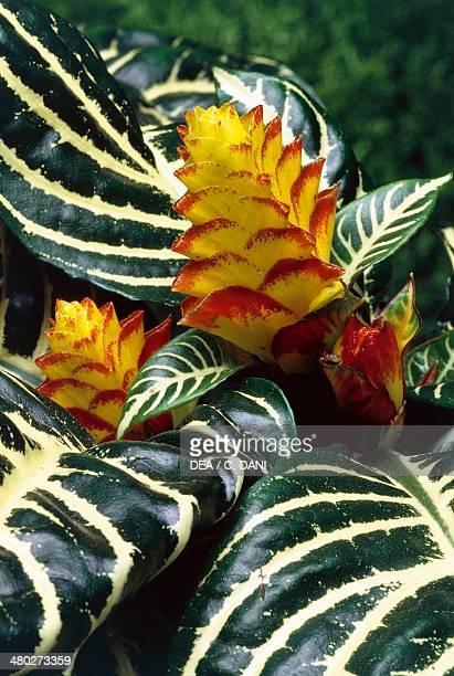 Zebra plant , Acanthaceae.