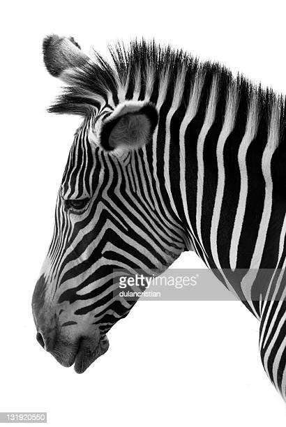 zebra profile - safari animals stock photos and pictures