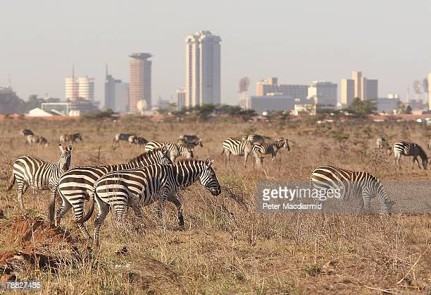 Zebra roam free in front of the Nairobi skyline at the Nairobi National Park on January 8, 2008 in Kenya. Tourism is a $1 billion industry in Kenya....