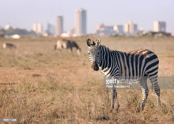 Zebra roam free in front of the Nairobi skyline at the Nairobi National Park on January 8 2008 in Kenya Tourism is a $1 billion industry in Kenya...