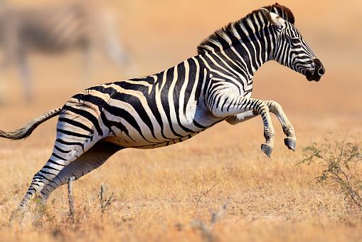 Zebra running and jumping 483230252