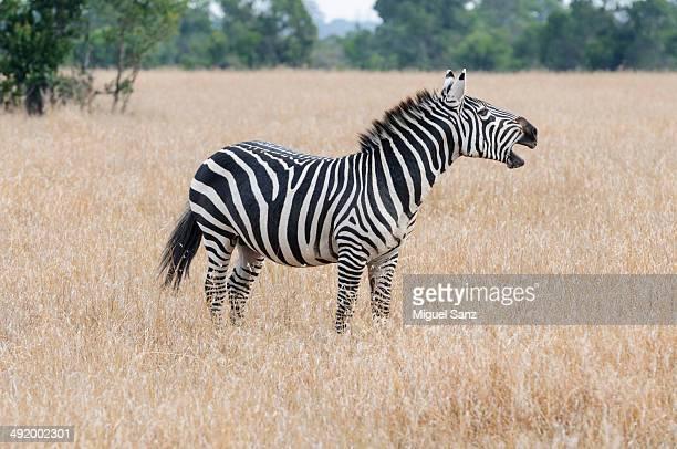 zebra screaming through gras. - gras stock pictures, royalty-free photos & images