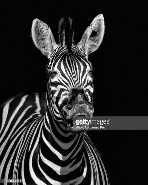 a zebra seems to laugh at the camera. - mpumalanga province stock pictures, royalty-free photos & images