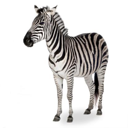 A zebra shown on a white background 93212633