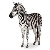 A zebra shown on a white background