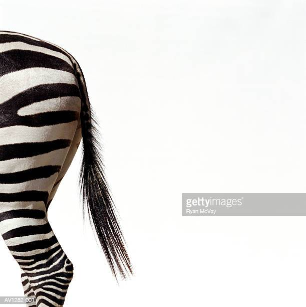 Zebra (Equus sp.), side view, close-up of tail