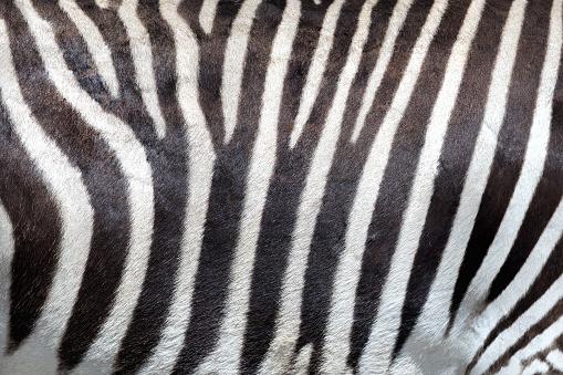 Zebra skin background. 997579740