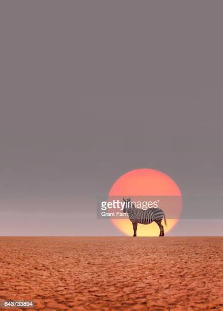 zebra stadning in desert. - mammal stock pictures, royalty-free photos & images