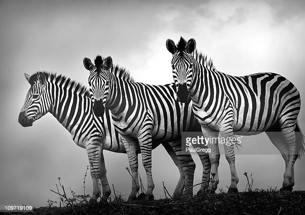 Zebra Stallions in black and white