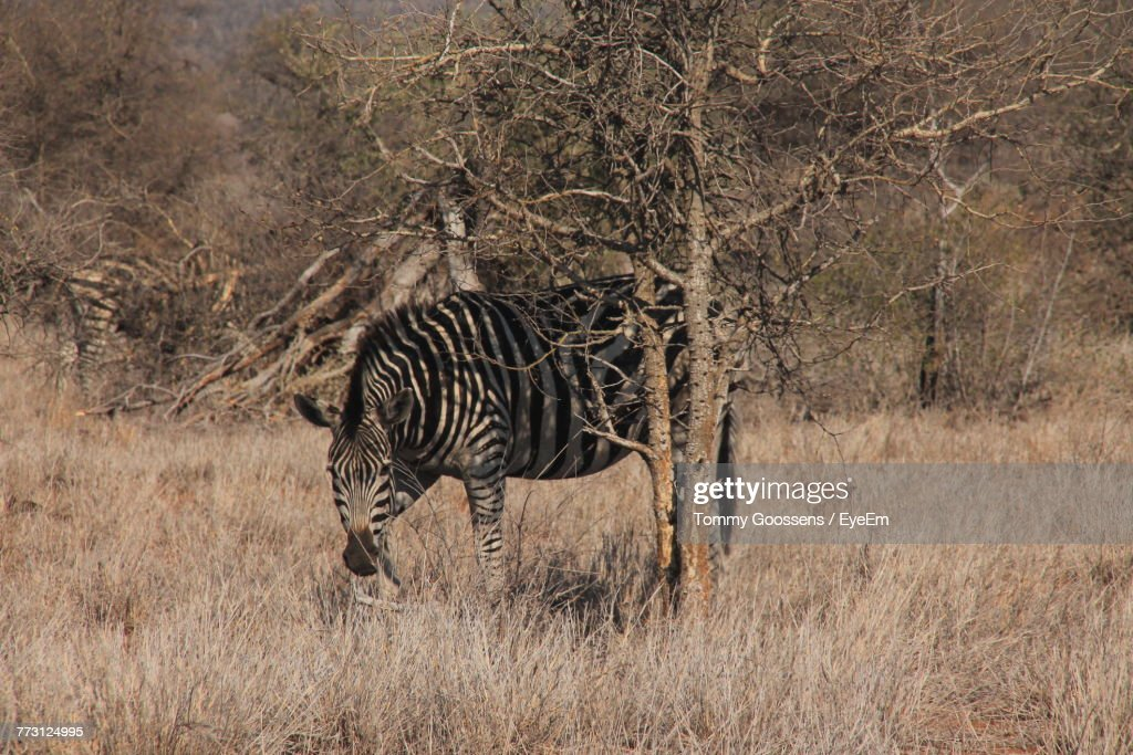 Zebra Standing By Tree At Forest : Photo