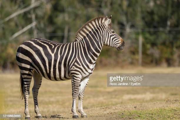 zebra standing in field - batemans bay stock pictures, royalty-free photos & images