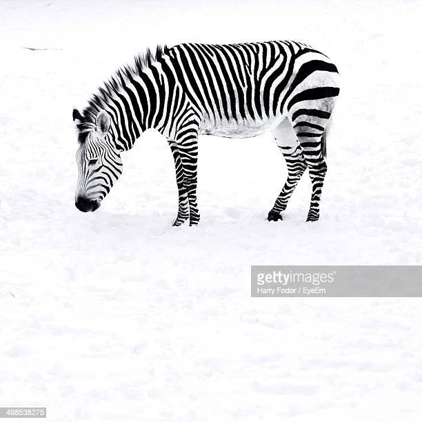 Zebra standing in snow