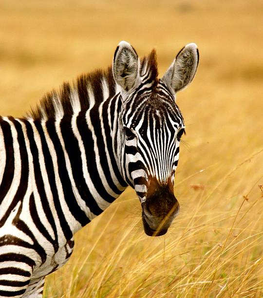 Zebra Standing In Tall Grass Wall Art