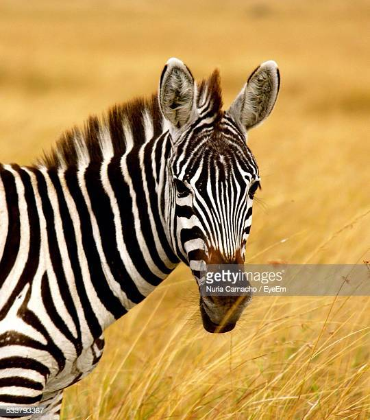 Zebra Standing In Tall Grass