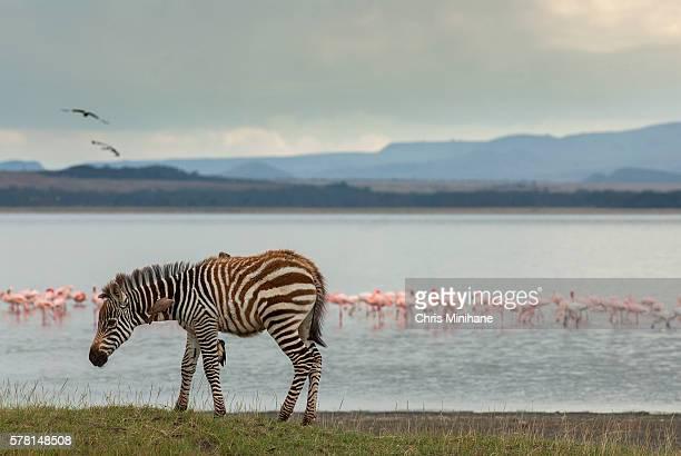 zebra stock image lake nakuru, kenya. - lake nakuru - fotografias e filmes do acervo