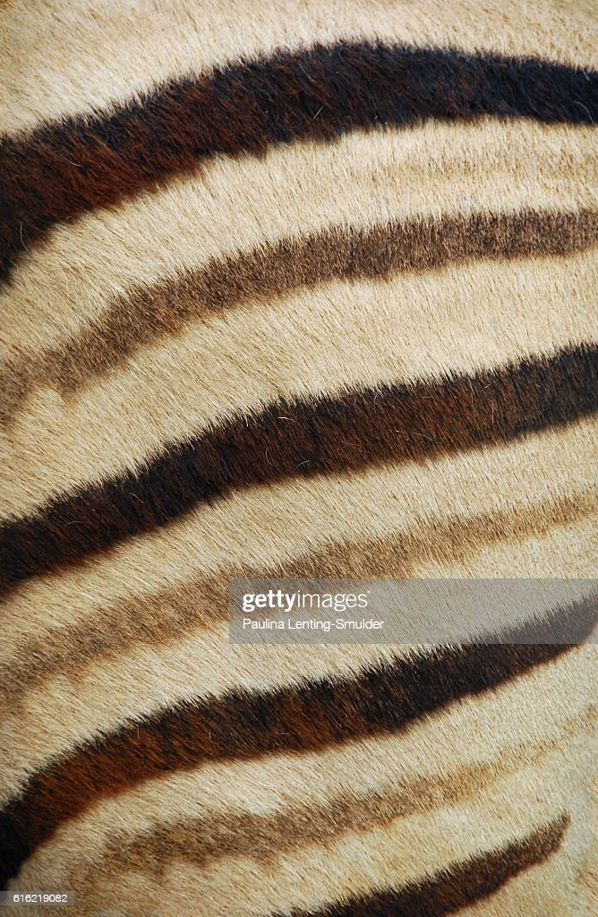 Zebra striped fur : Stock Photo