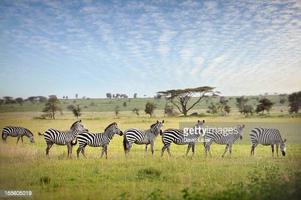 zebra stripes 2 - zebra stock pictures, royalty-free photos & images