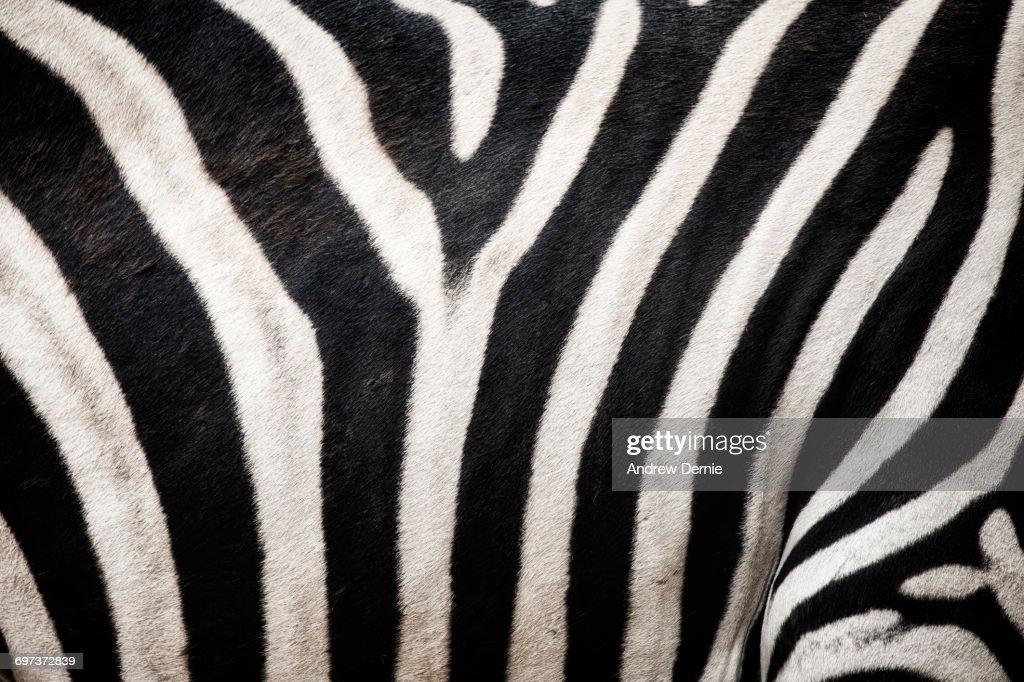 Zebra stripes : Stock Photo