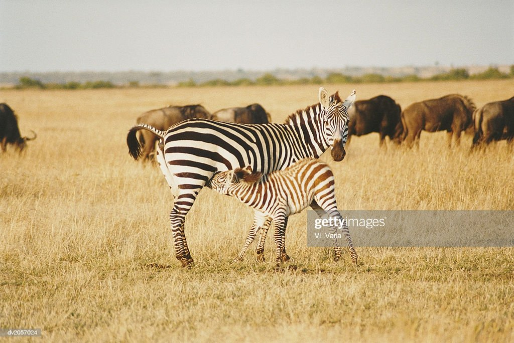 Zebra Suckling Calf : Stock Photo