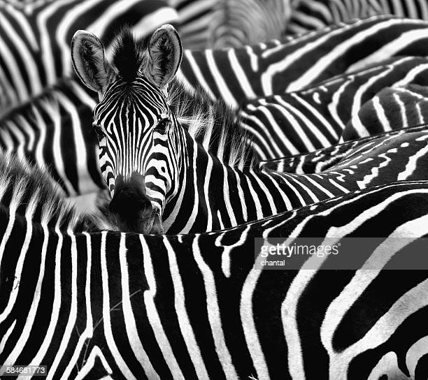 Zebra surrounded with black and white stripes