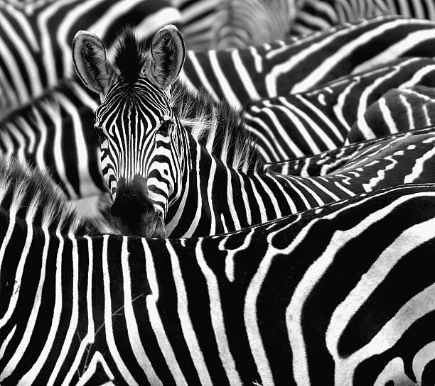 Zebra Framed Prints & Canvas Art | Photos.com
