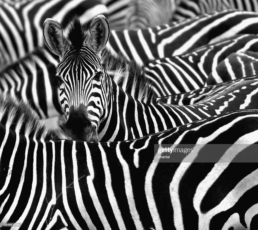 Close up from a zebra surrounded with black and white stripes in his herd.