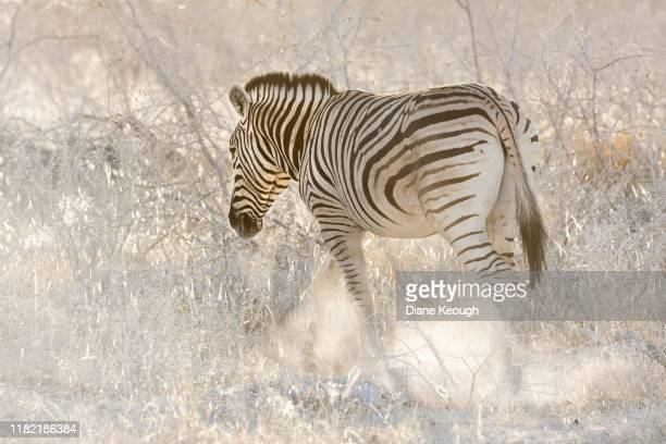 zebra walking in etosha national park. - hairy bum stock pictures, royalty-free photos & images