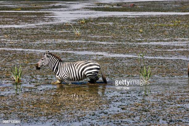 zebra walking in lake for drinking - bog stock photos and pictures