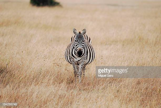 Zebra walking through grass