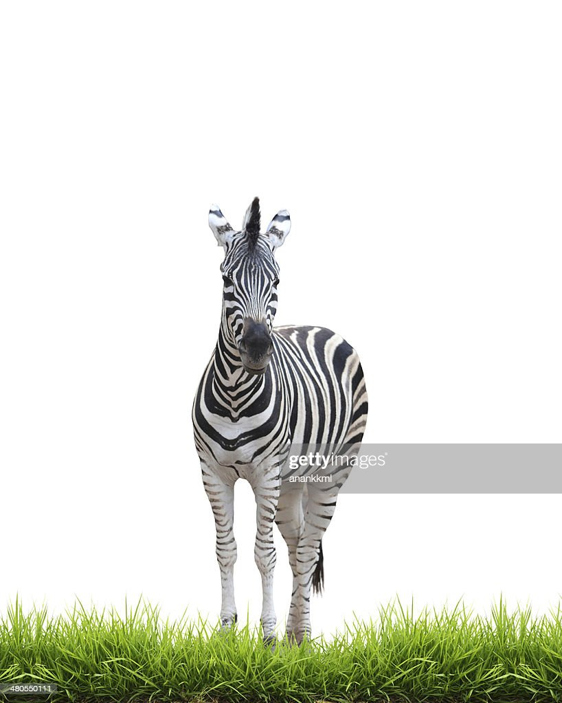 zebra with green grass isolated : Stock Photo