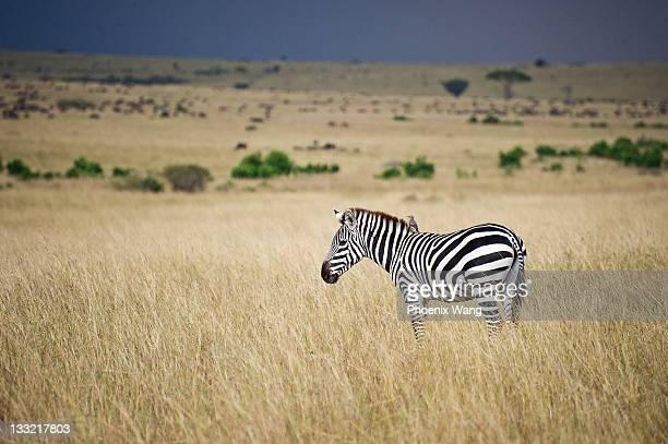 Zebra with little bird