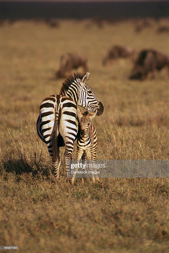 Zebra with offspring : Stockfoto