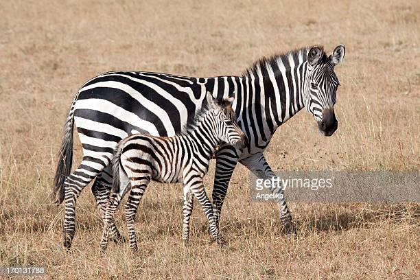 Zebra with young foal, Masai Mara National Park, Kenya