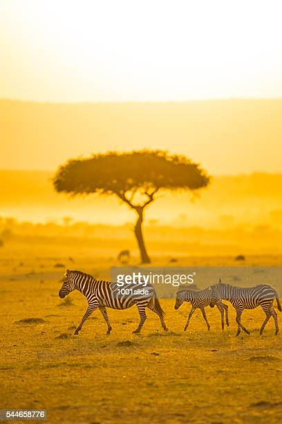 zebras, acacia tree and africa sun - zebra stock pictures, royalty-free photos & images