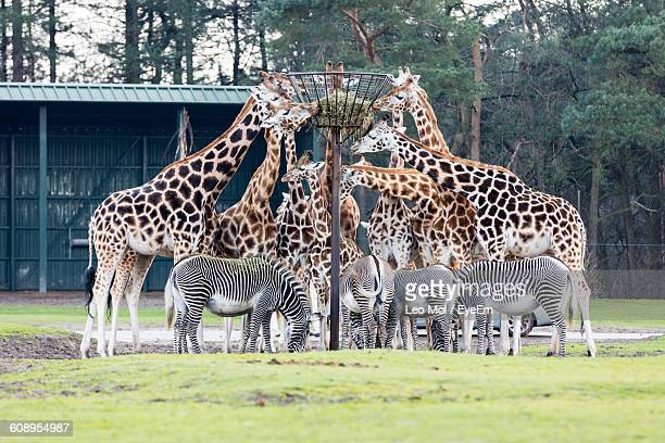 Zebras And Giraffes In Zoo