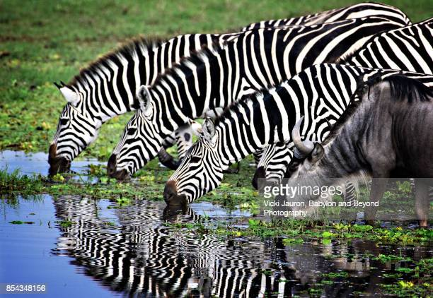 Zebras and One Wildebeest Drinking from Stream in Amboseli, Kenya