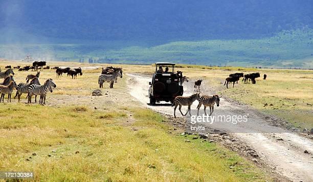 zebre e gnu. - area selvatica foto e immagini stock