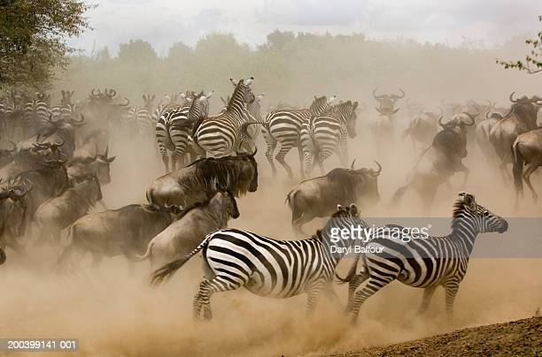 zebras and wildebeest running from predator, side view - stampeding stock pictures, royalty-free photos & images