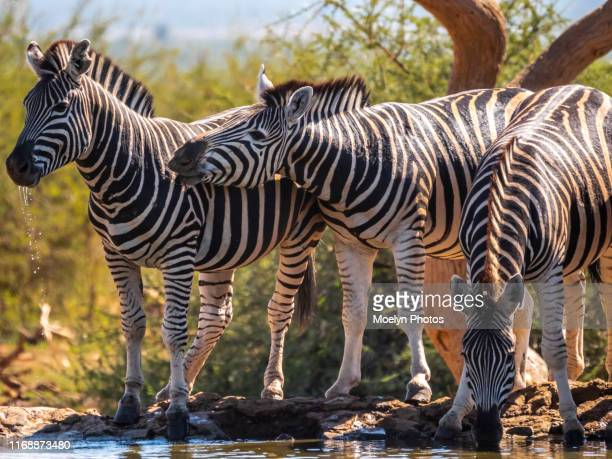 zebras - animal behavior at a waterhole - mammal stock pictures, royalty-free photos & images