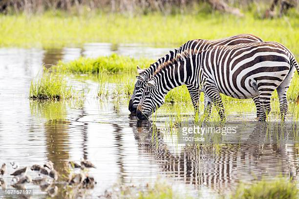zebras are drinking water - lake nakuru stock photos and pictures