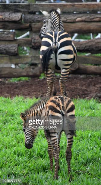Zebras are seen at the Joya Grande zoo and ecopark in Santa Cruz de Yojoa Cortes department 160 km north of Tegucigalpa Honduras on October 4 2018...