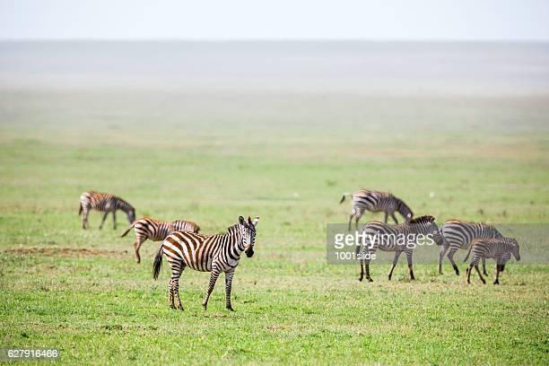 zebras at endless savannah - semiarid stock-fotos und bilder