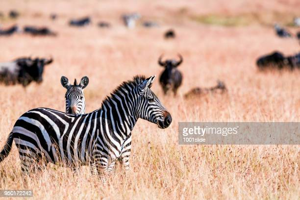 Zebras at Great Wildebeest Migration in Kenya