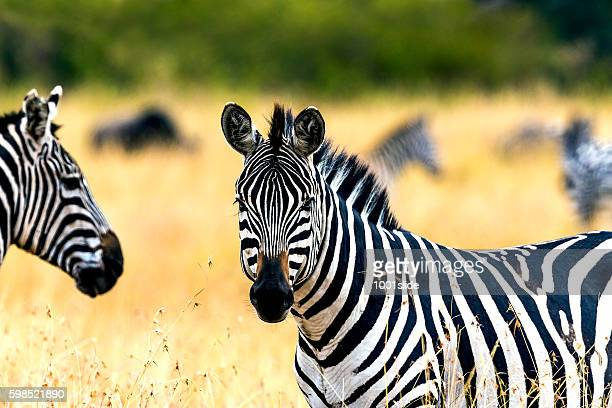 Zebras at Savannah and looking at camera directly