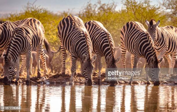 zebras at waterhole in madikwe - waterhole stock pictures, royalty-free photos & images