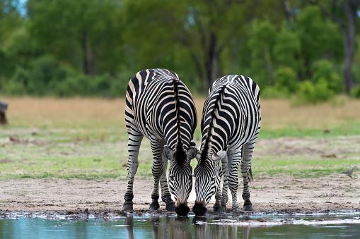Zebras Drinking at a Waterhole in Hwange National Park, Zimbabwe 897769608