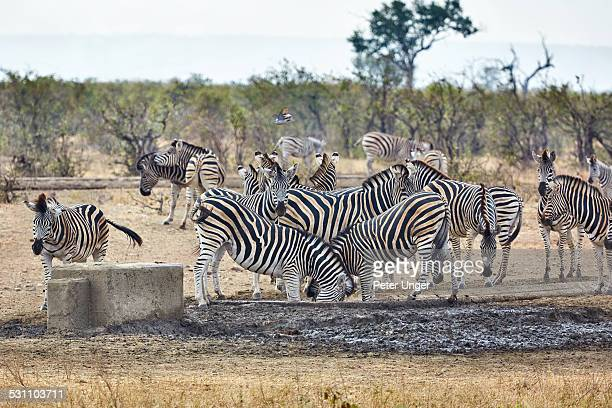 Zebras drinking at water trough